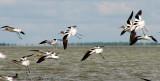American Avocets in flight 1a.jpg