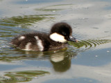 Common Goldeneye chick 1a.jpg