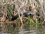 Common Loon on nest 1a.jpg