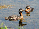 Red-necked Grebe pair 1a.jpg