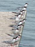 Common Terns 2a.jpg