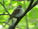 Chipping Sparrow 1a.jpg