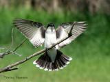 Eastern Kingbird landing 1a.jpg
