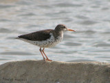 Spotted Sandpiper 2a.jpg