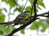 Yellow-rumped Warbler 1a.jpg