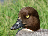 Common goldeneye female portrait 1a.jpg