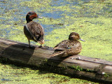 Green-winged Teal pair 4a.jpg