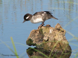 Bufflehead female 1b.jpg