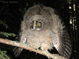 Long-eared Owl nestling 1a.jpg