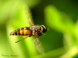 Hybomitra lasiophthalma - Horse Fly in flight 1a