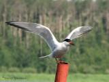 Common Tern 6a.jpg