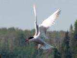 Common Tern in flight 1b.jpg