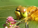 Sympetrum internum - Cherry-faced Meadowhawk portrait 1b.jpg