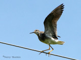 Lesser Yellowlegs - the tightrope act 2a.jpg