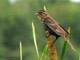 Red-winged Blackbird female 7a.jpg