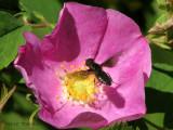 Anthrax georgicus - Bee Fly in flight over wild rose 1.jpg
