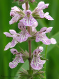 Hairy Hedge-nettle - Stachys pilosa 1a .jpg