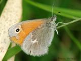 Coenonympha inornata - Inornate Ringlet 5a.jpg