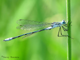 Lestes disjunctus - Northern Spreadwing 1a.jpg
