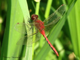 Sympetrum internum - Cherry-faced Meadowhawk 19a.jpg