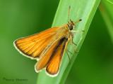 Thymelicus lineola - European Skipper 13a.jpg