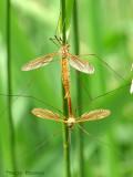 Tipulidae - Crane Flies mating A1a.jpg