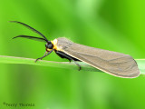 Cisseps fulvicollis - Yellow-collared Scape Moth 12a.jpg