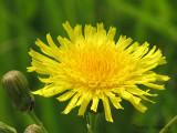 Perennial Sow-thistle 1a.jpg