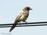 Black-billed Magpie ghost bird 7a.jpg