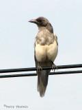 Black-billed Magpie ghost bird 8a.jpg