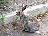 White-tailed Jackrabbit 8a.jpg