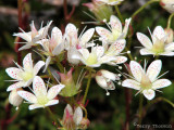 Spotted Saxifrage 2a.jpg