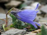 Alpine Harebell 2a.jpg