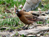 Gray-crowned Rosy Finch 1a.jpg