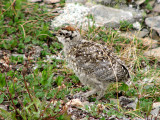 White-tailed Ptarmigan chick 1a.jpg