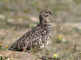 White-tailed Ptarmigan female 3a.jpg