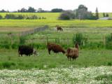 Llamas at Murray Marsh 1.jpg