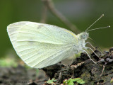 Pieris rapae - Cabbage White 1a.jpg