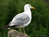 California Gull adult 2a.jpg