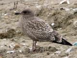 California Gull juvenile 1a.jpg