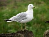 Ring-billed Gull adult 1a.jpg