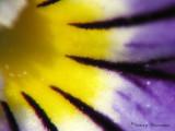 Violet macro 3a.jpg