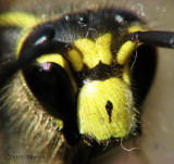 Yellowjacket face 1a.jpg
