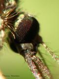 Mosquito head macro 6a.jpg