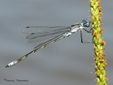 Lestes disjunctus - Northern Spreadwing 11a.jpg