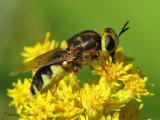 Hedriodiscus binotatus - Soldier Fly 5a.jpg