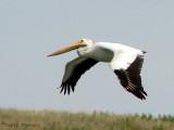 American White Pelican in flight 9b.jpg