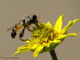 Syritta pipiens - Flower Fly 1b.jpg