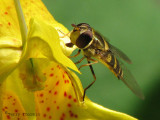 Syrphus sp. - Flower Fly B1a.jpg