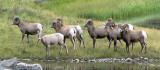 Bighorn Sheep 3b.jpg